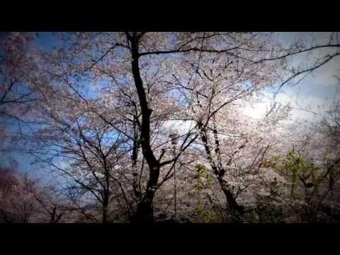 京の天気 2015年4月12日(日) 【京都はんなり天気】 平野神社の桜並木編 - YouTube