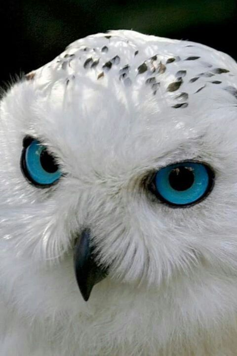 Beautiful Owl with BLUE eyes | BIRDS and Bugs | Pinterest