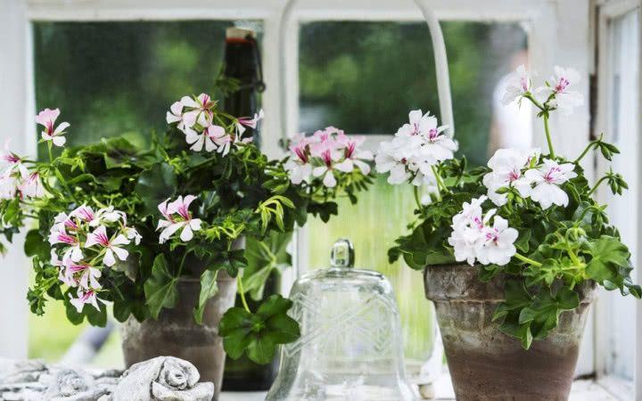 Zimowanie Pelargonii Jak Przechowywac Kwiaty Balkonowe Przez Zime Glass Vase Garden Decor