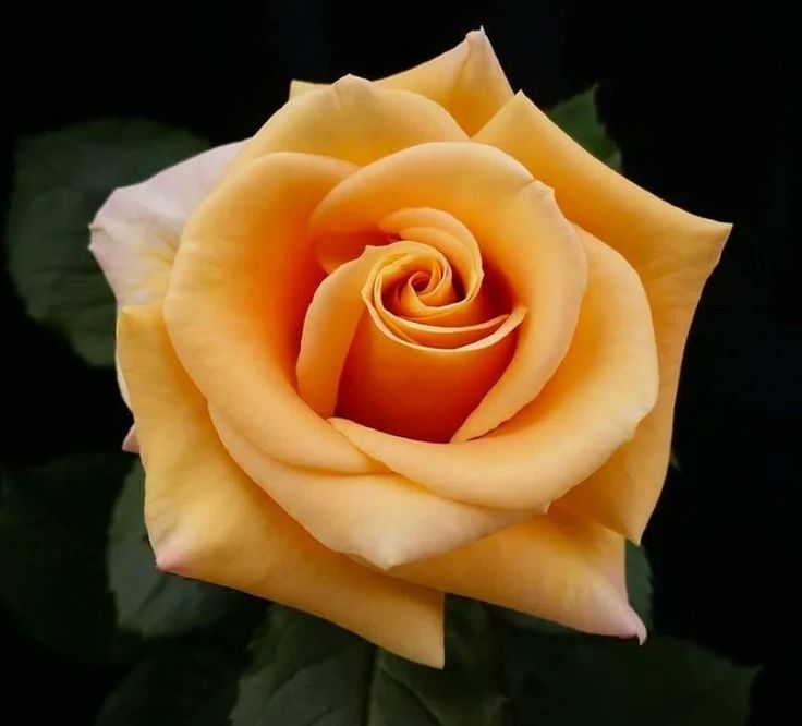 1153 best Rose reference images on Pinterest   Beautiful flowers, Flowers and Plants