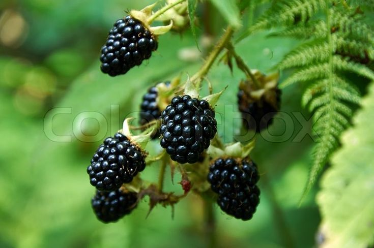 1000 ideas about growing blackberries on pinterest how to grow growing raspberries and to grow. Black Bedroom Furniture Sets. Home Design Ideas