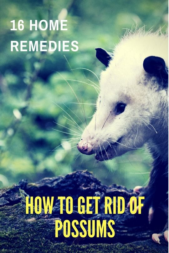 Home Remedies to Get Rid of Possums - 16 Simple Home Remedies To Get Rid Of Possums Backyard Pinterest