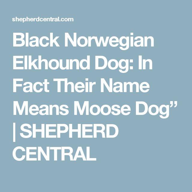 "Black Norwegian Elkhound Dog: In Fact Their Name Means Moose Dog""   SHEPHERD CENTRAL"