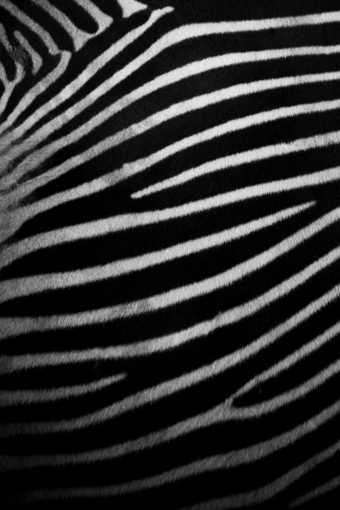 The side of a zebra showing its amazing skin, possibly my favourite pattern in nature, great fun to shoot also.  I am going to create some free iPhone wallpapers from all my natural pattern photos, so stay tuned for them (if you have an iPhone of course!)  Update: I have added some pattern iPhone wallpaers to my blog (including this image!) - feel free to use :) - link.