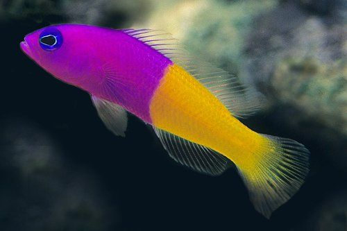 Two-tone Dottyback (Pseudochromis paccagnellae)