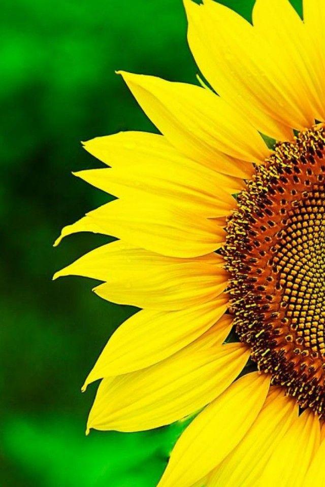 hermoso, amarillo, macro, girasol, fondo verde iPhone 4 / 4S fondos de pantalla 640x960 Fondos de pantalla Descargar