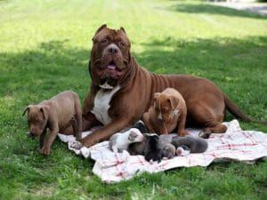 Best Pitbull Hulk Ideas On Pinterest Pit Bulls Pitbulls And - The worlds biggest pit bull just became a dad wait until you see his puppies