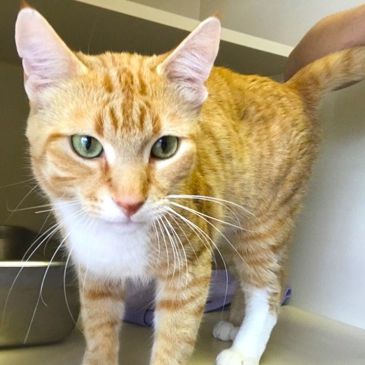 You Can Meet This Easygoing Guy At Pet Valu In Braeside Cat Adoption Cat Rescue Crazy Cats