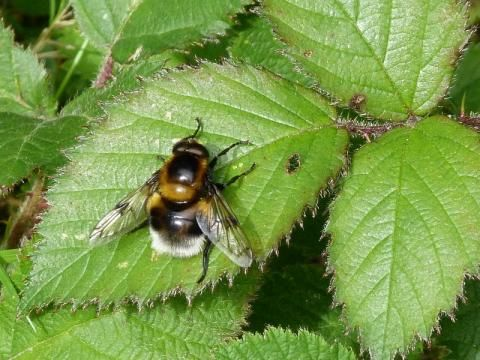 Hoverfly: Volucella bombylans | Nature Notes from Dorset