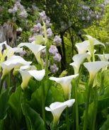 Calla Lily (Zantedeschia aethiopica) - Monrovia - Calla Lily (Zantedeschia aethiopica) zone 8-11  **like these in the garden not in arrangements**