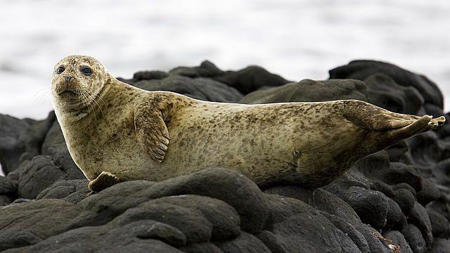 Fókaállomány megóvása Skóciában - Ha valaha is vonzotta a tengerbiológia, ideiglenes kutatóként részt vehet a skóciai Findhorn-öbölben, a fókák megóvására létesített projektben. A területet nemrég nyilvánították a Királyi Madárvédelmi Társaság felügyelete alatt álló környezetvédelmi területté.