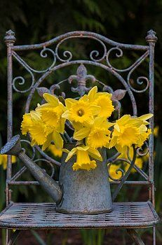 Bouquet of daffodils in tin watering can on metal chair