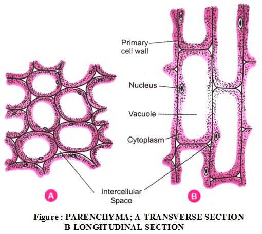 what are the types of plant tissues and their functions on cell wall function id=83618