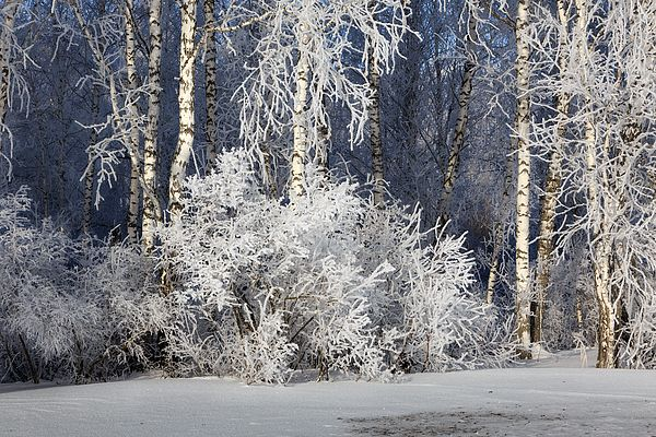 SILVER WOODS by VICTOR KOVCHIN.   Beautiful winter scene in the forest with trees covered by the frost. Kemerovo, North of Russia. #RussianArtistsNewWave #Winter #Christmas #ChristmasGift #ChristmasIdeas #Snow #Woods #Trees #BirchTrees #Russia #VictorKovchin #Frost #Forest #WinterForest #Canvas #FramedPrints
