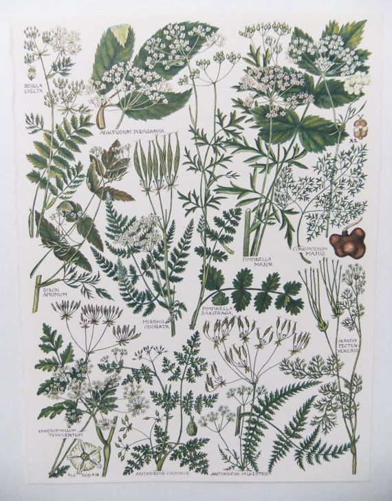 Botanical Illustrations  - vintage botanical flower drawings - old botanical prints of flowers - green and white