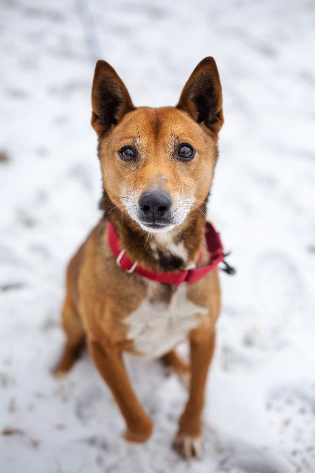 Adopt Thumper On Terrier Mix Dogs Shiba Inu Pets