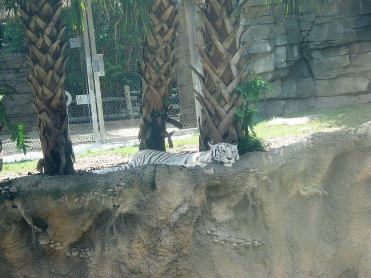 tiger sleeping in Bush Gardens Orlando