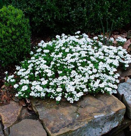 7 flowers that look great all summer long. *candytuft