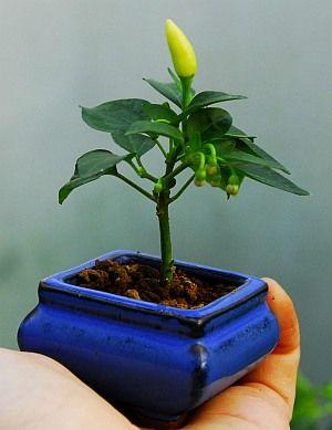 Fatalii's Growing Guide - Bonsai Chiles! (Bonchi)