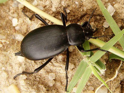 Blaps mucronata - Escarabajo nauseabundo