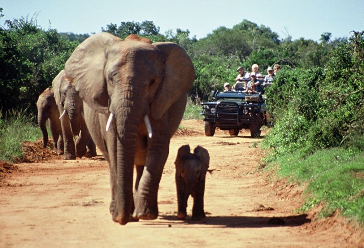 Gorah Elephant Camp, Garden Route & Winelands, South Africa, Mama and Baby Elephant in the Carpool lane