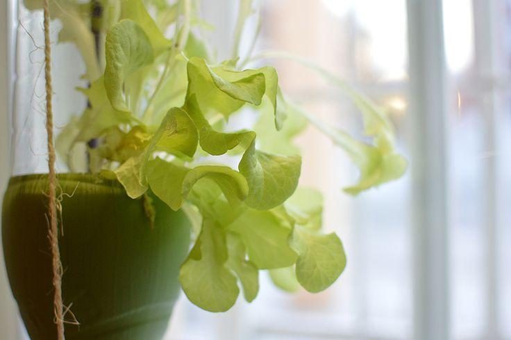 Valo, lämpö ja sopiva kosteus saavat lehtisalaatin kasvamaan hurjaa vauhtia. Oulu (Finland)