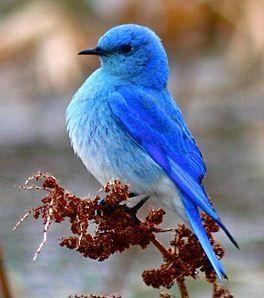 Los Bluebirds de montaña son migratorios. Su rango varía desde México en el invierno hasta el extremo norte de Alaska, en todo el oeste de Estados Unidos y Canadá.
