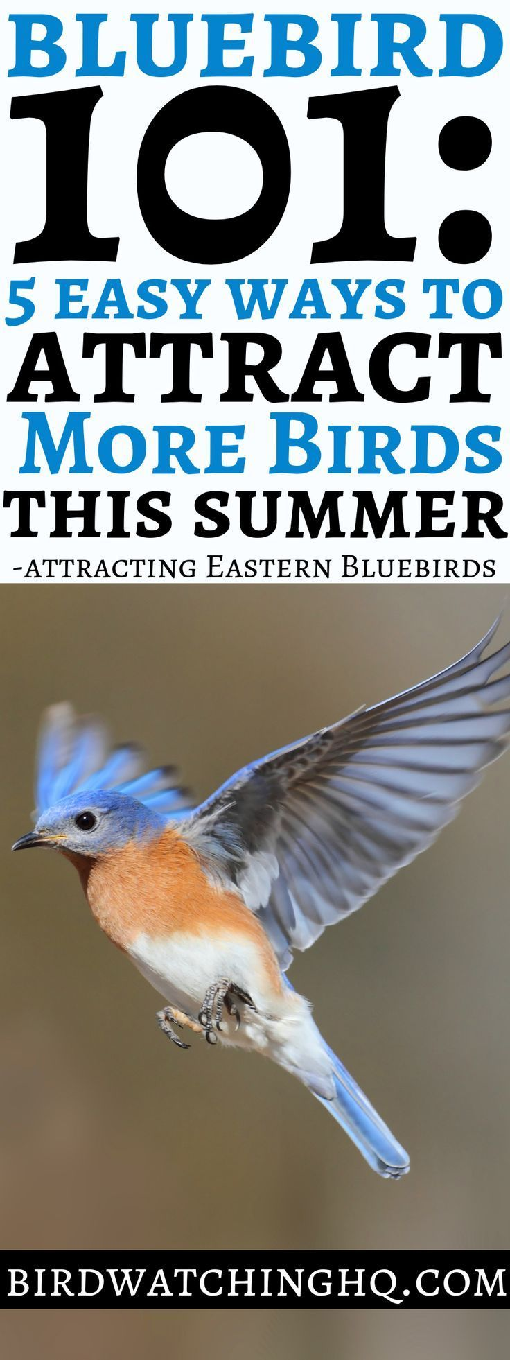 How to attract bluebirds 6 proven tips 2020 blue bird