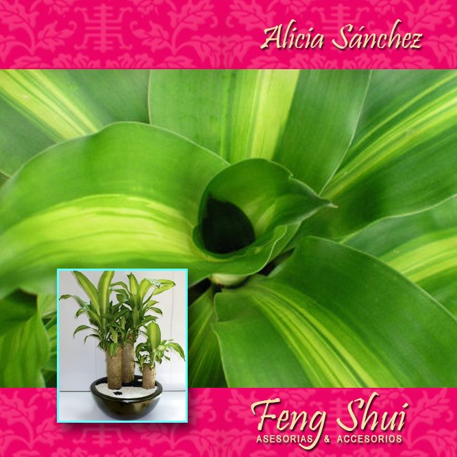 El palo del brasil es llamada la planta dracaena fragans - El mejor libro de feng shui ...