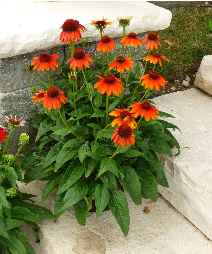 Echinacea-hybrida-Flamenco-Orange-Sombrero-Flamenco-Orange-Coneflower-–-photo-Darwin-Perennials