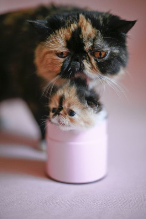 cute: Cats, Kitty Parties, Mothers, Cups, Baby Kittens, Cutest Kittens, Persian Cat, Animal, Baby Cat