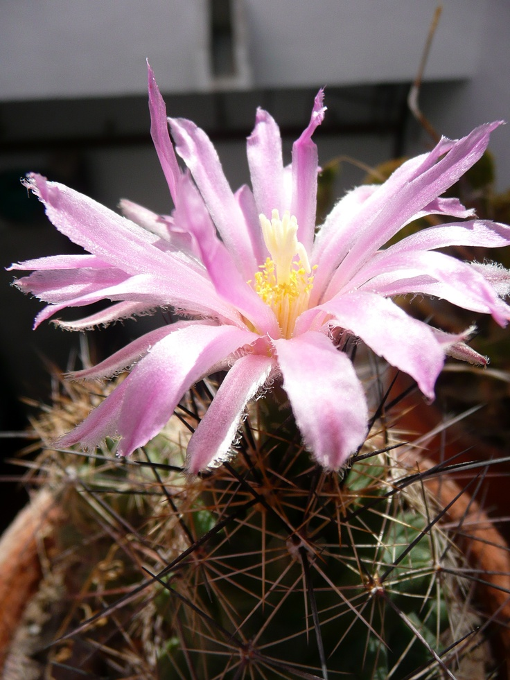 138 best images about native plants of mexico on pinterest
