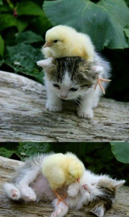 ahhh~ so cute!: Baby Chick, Cat, Sweet, Best Friends, So Cute, Bestfriends, Baby Kittens, Ducks, Baby Animal