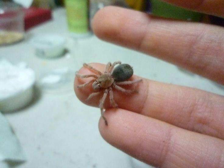 HJ's Pet Blog: About Chilean rose-hair tarantulas