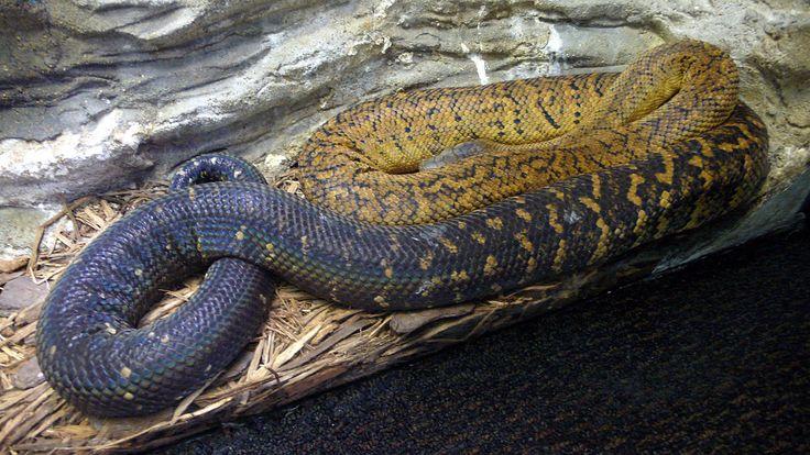 Jamaican Boa / Epicrates subflavus ◆Jamaica - Wikipedia http://en.wikipedia.org/wiki/Jamaica #Jamaica