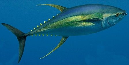 Yellowfintuna are usually found in schools, and they tend to follow pods of dolphins or whales, as well as boats (which makes them a prime candidate for the commercial fishing industry). Description from alongtheseashore.wordpress.com. I searched for this on bing.com/images
