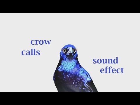 The Animal Sounds: Crow  Calls - Sound Effect - Animation