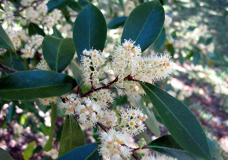 Cherry Tree Seeds ★ CAROLINA ★ Prunus Caroliniana Compacta ★ GMO FREE ★ 10 Seeds