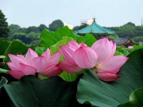 Flores de Lotus no Parque Ueno, em Tóquio, Japão. 上野公園・不忍池のハスと灯ろう流し 東京観光 花の名所案内.  - YouTube.
