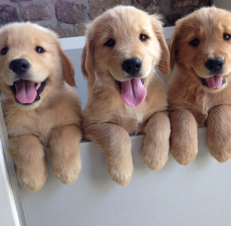 Three Golden Retriever puppies can't wait for bath time