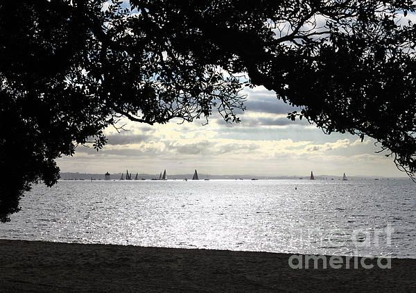 Pohutukawa framing the sail boats in Auckland Harbour, New Zealand.