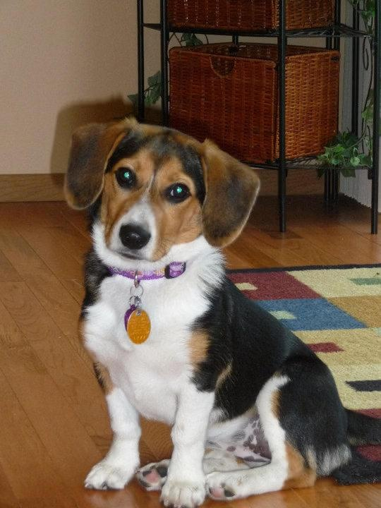 Corgle! Beagle and Corgi mix! I am convinced this is what my dog is...this looks just like her!