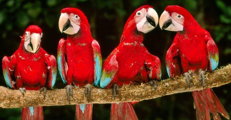 Araras-vermelhas repousam na Reserva Nacional de Tambopata, no Peru. Na floresta amazônica, as araras se reúnem em bancos de argila (o maior deles é nesta reserva), que são uma grande fonte de sódio