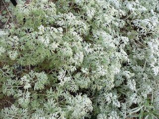 Η ΛΙΣΤΑ ΜΟΥ: Αψιθιά | Artemisia Absinthium