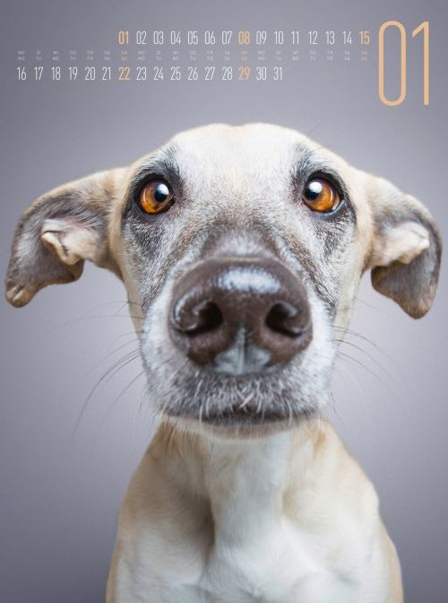 Die charmanten Stars dieses Kalenders kommen alle aus dem Tierschutz.  Die mehrfach ausgezeichnete Hunde-Fotografin Elke Vogelsang portraitiert ihre vierbeinigen Freunde nicht nur besonders einfühlsam und warmherzig, sondern auch mit einer Extraportion Humor.   Lustig, ernst, hochnäsig, aufmerksam oder ein bisschen verrückt – diese Portraits spiegeln in ihrer Ausdruckskraft die ganze Achterbahnfahrt des Lebens wieder und zaubern uns in Sekundenschnelle ein Lächeln aufs Gesicht.