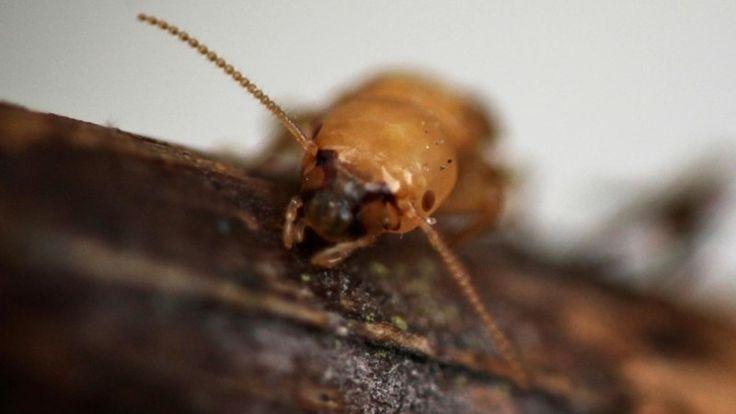 termite queen eggs