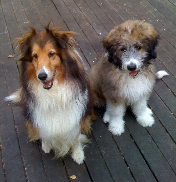 aussiedoodle on the right | Aussiedoodles! | Pinterest ... | 600 x 621 jpeg 54kB
