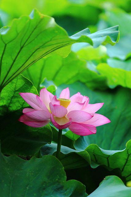 **Lotus at Shinobazunoike(Ueno Onshi Park), Tokyo by Shingan Photography, via Flickr
