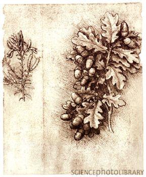 OH MY! Never saw these before! I would love to find a print =)  Leonardo da Vinci's oak leaves and acorns