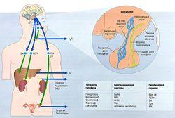Метаболизм человека и эндокринная система — SportWiki энциклопедия